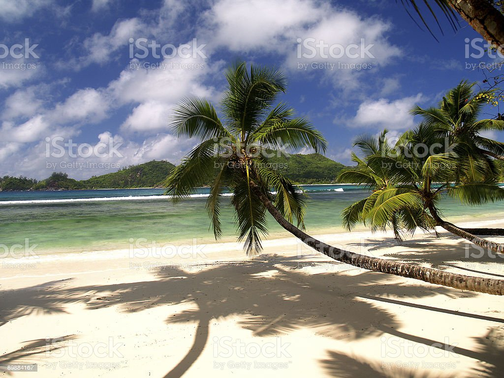 Low hanging Palm trees on a tropical beach royalty-free stock photo