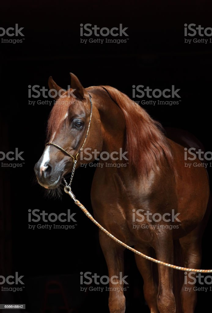 Low key shot bay arabian horse stock photo