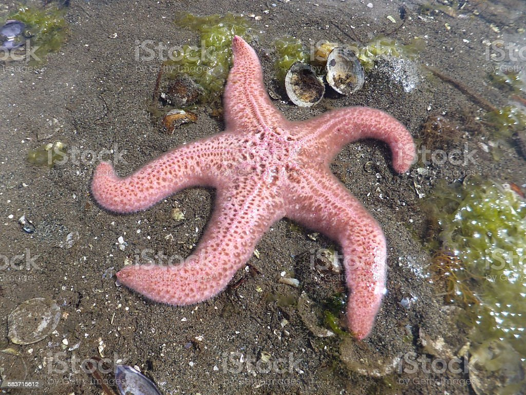 Low Tide Sea Star stock photo