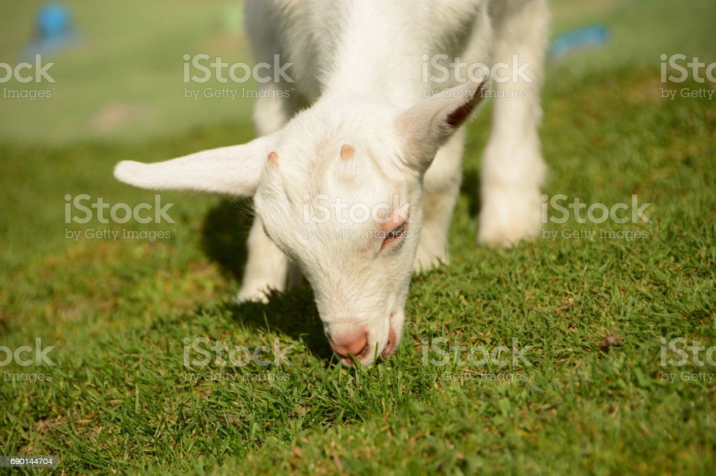 Low view of a Grazing Saanen kid goat in a pasture. stock photo