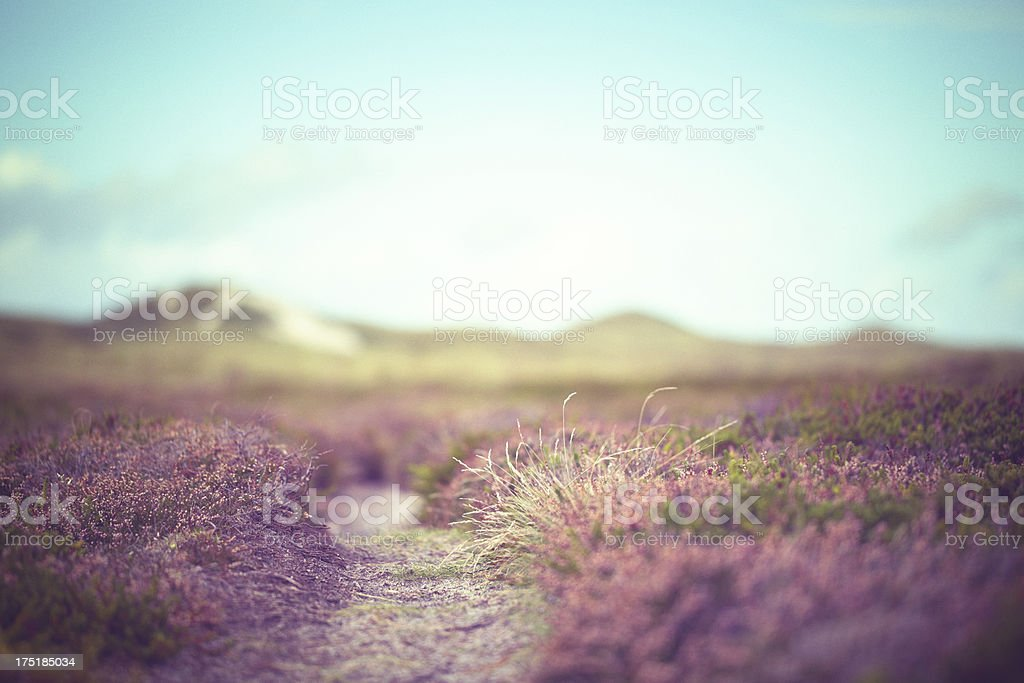 Low view of field of purple heather under blue sky royalty-free stock photo