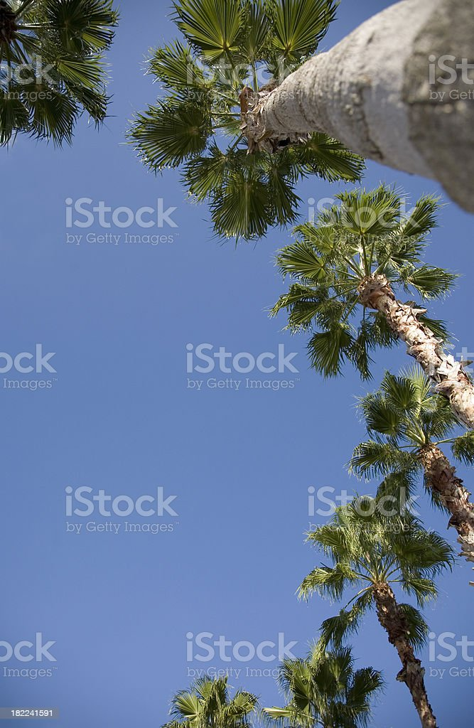 Low View of Palm Trees on a Blue Sky Day royalty-free stock photo