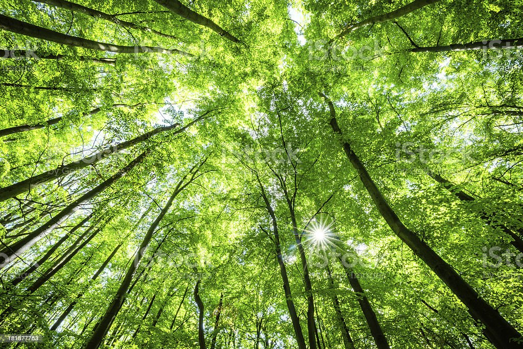 Low-angle shot of beech tree forest royalty-free stock photo