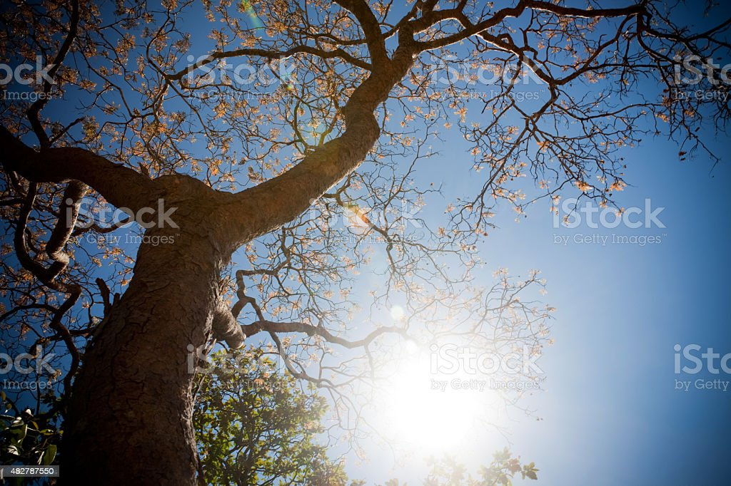 Low-Angle Shot of Brazilian Savannah Cerrado Tree stock photo
