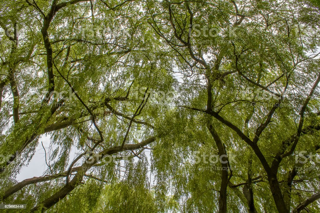 Low-Angle Willows stock photo