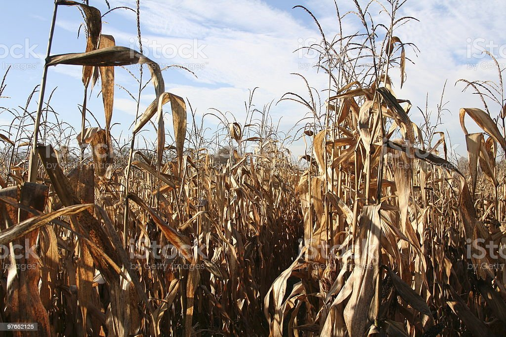 A low-angled close-up of a cornfield stock photo