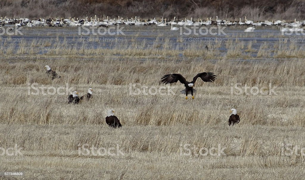 Lower Klamath Eagle Wings stock photo
