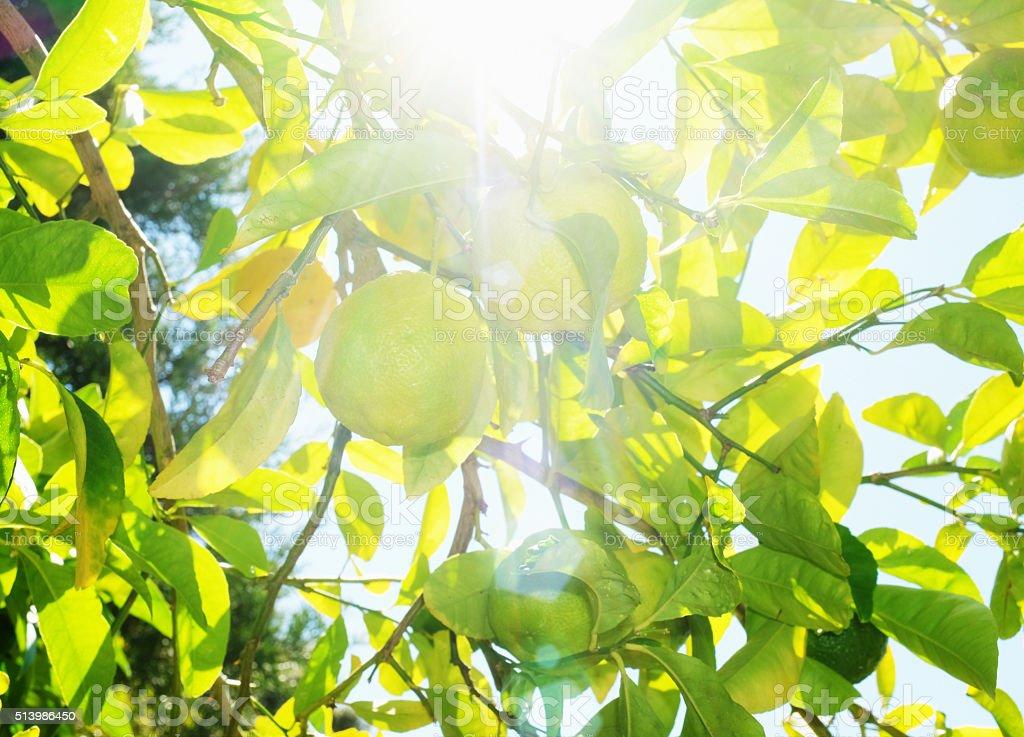 Low-hanging fruit: lemons growing on tree in bright sunshine stock photo