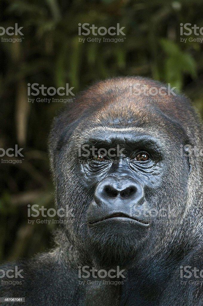 Lowland gorilla close up royalty-free stock photo