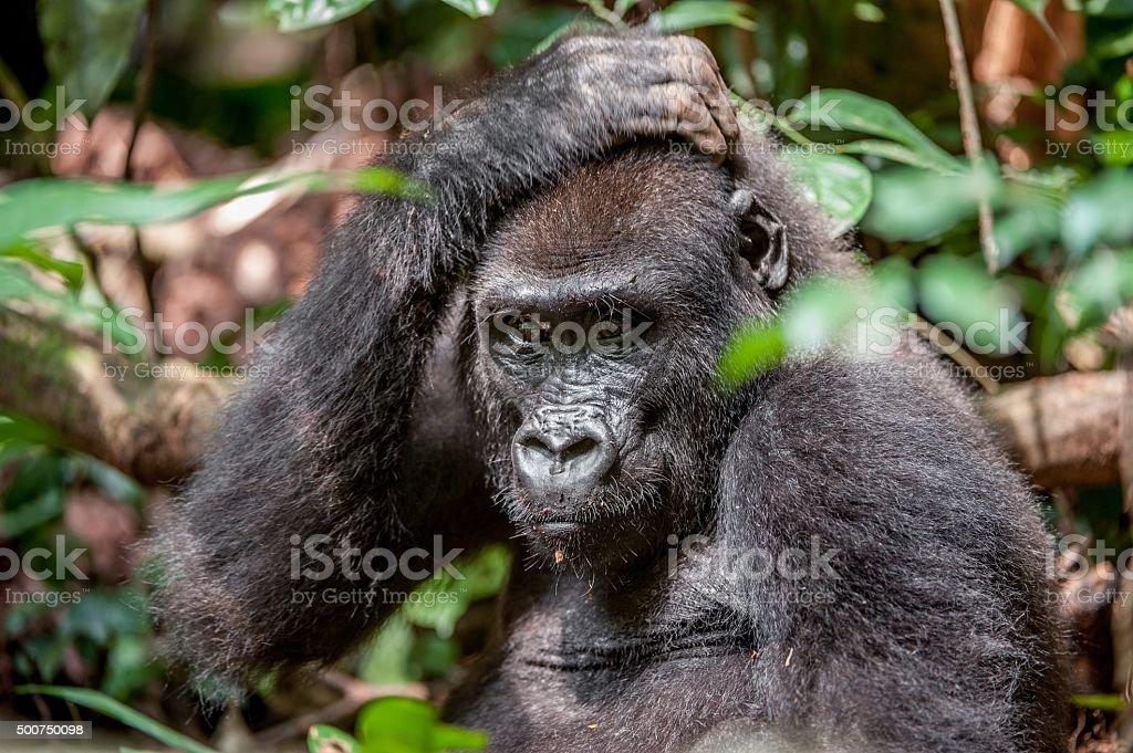 Lowland gorilla in a native habitat. stock photo