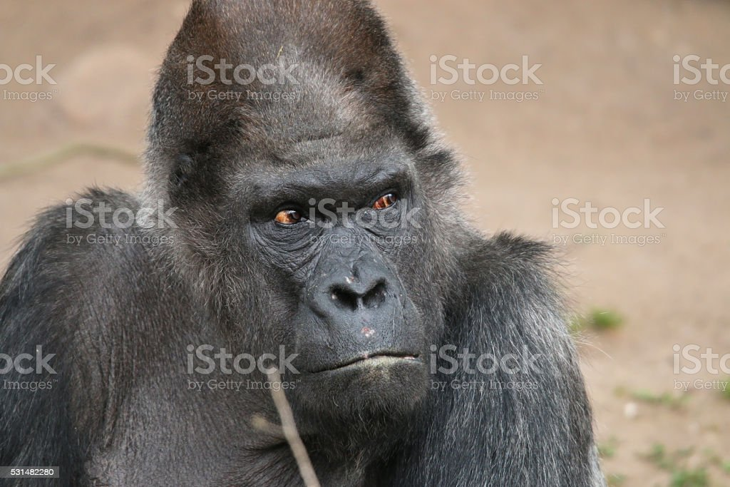 Lowland Gorilla stock photo
