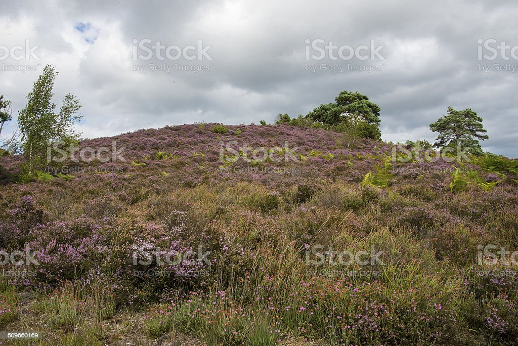 Lowland heath in summer royalty-free stock photo