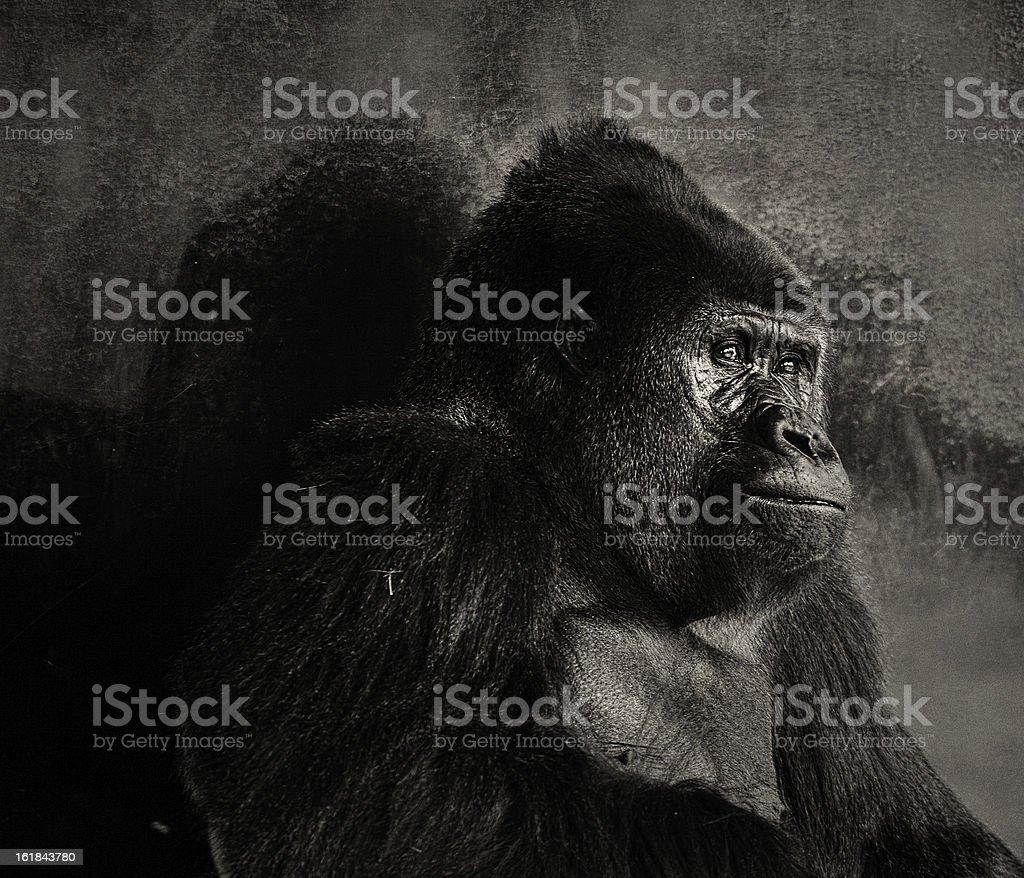 lowland silver-back gorilla stock photo