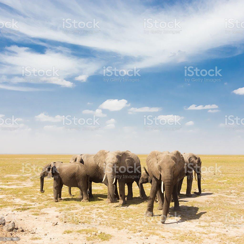 Loxodonta africana, African bush elephant. stock photo