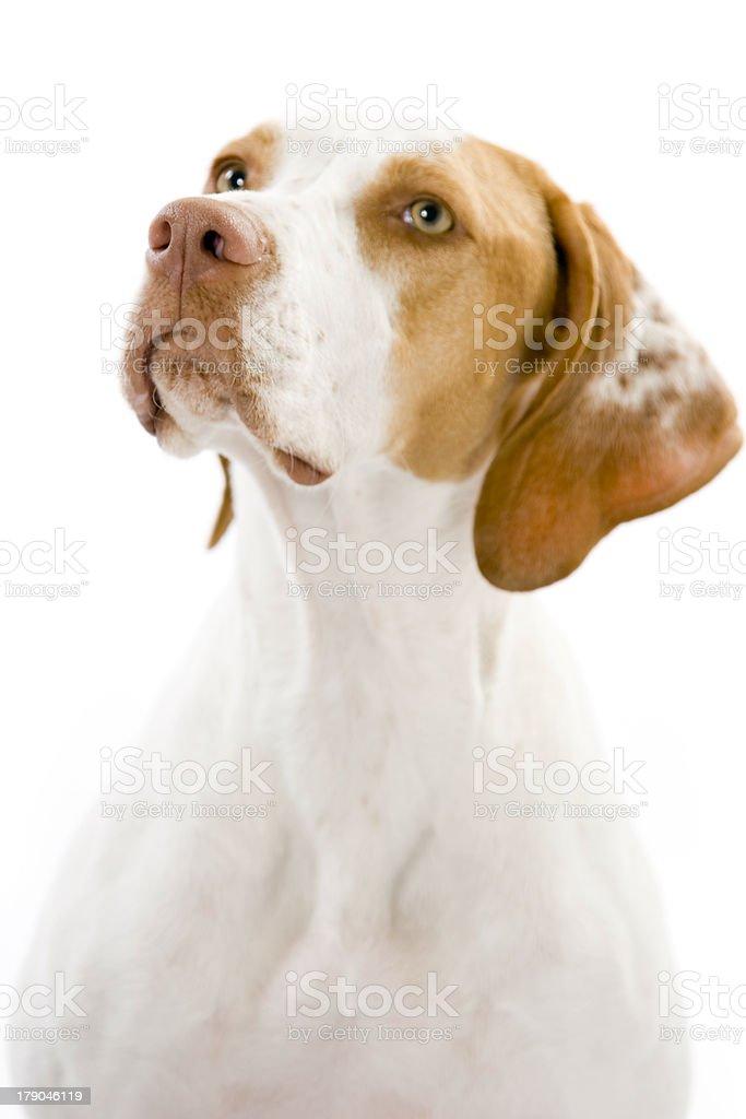 Loyal Hunting Dog royalty-free stock photo