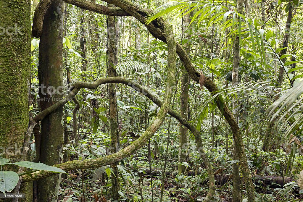 LRainforest lianas royalty-free stock photo