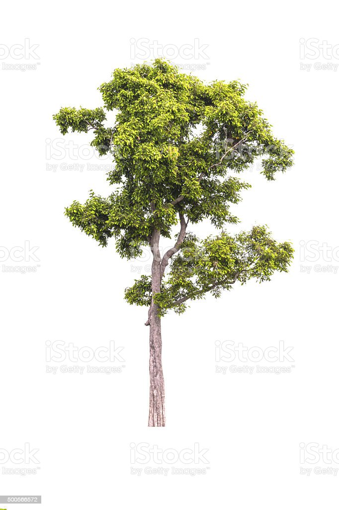 Lrvingia malayana tree stock photo