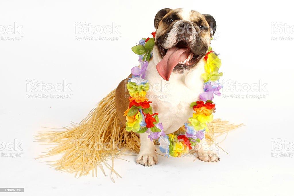 Luau Bulldog royalty-free stock photo