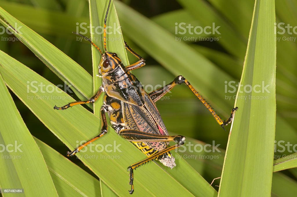 Lubber grashopper clinging to Saw palmetto leaves stock photo