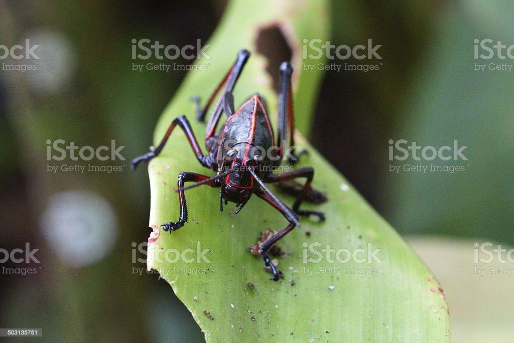 Lubber grasshopper stock photo