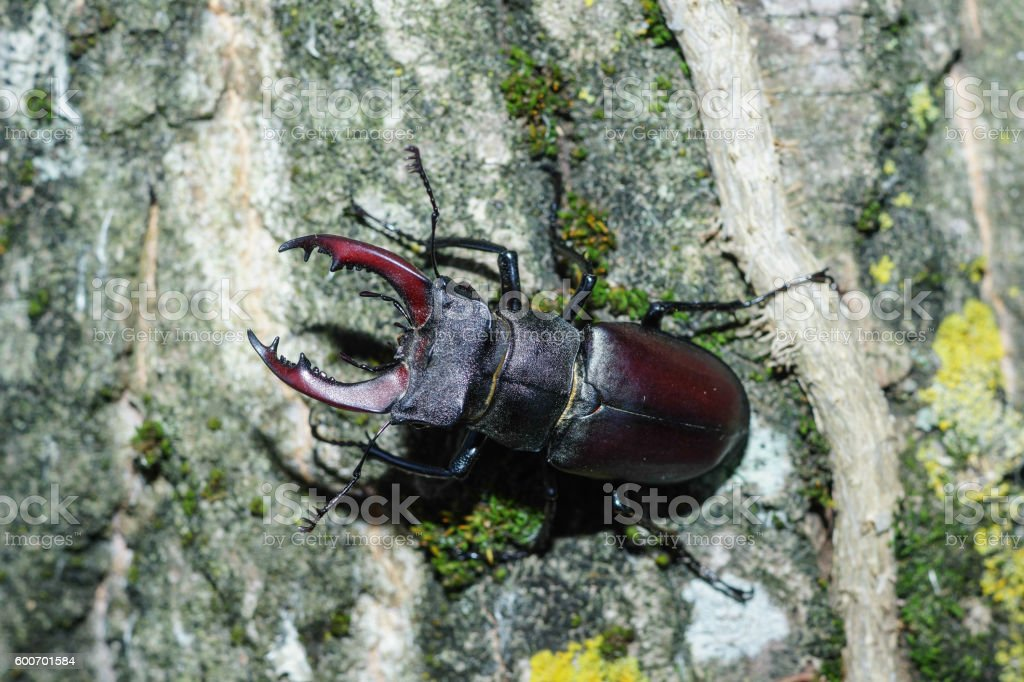 Lucanus cervus, Stag beetle stock photo