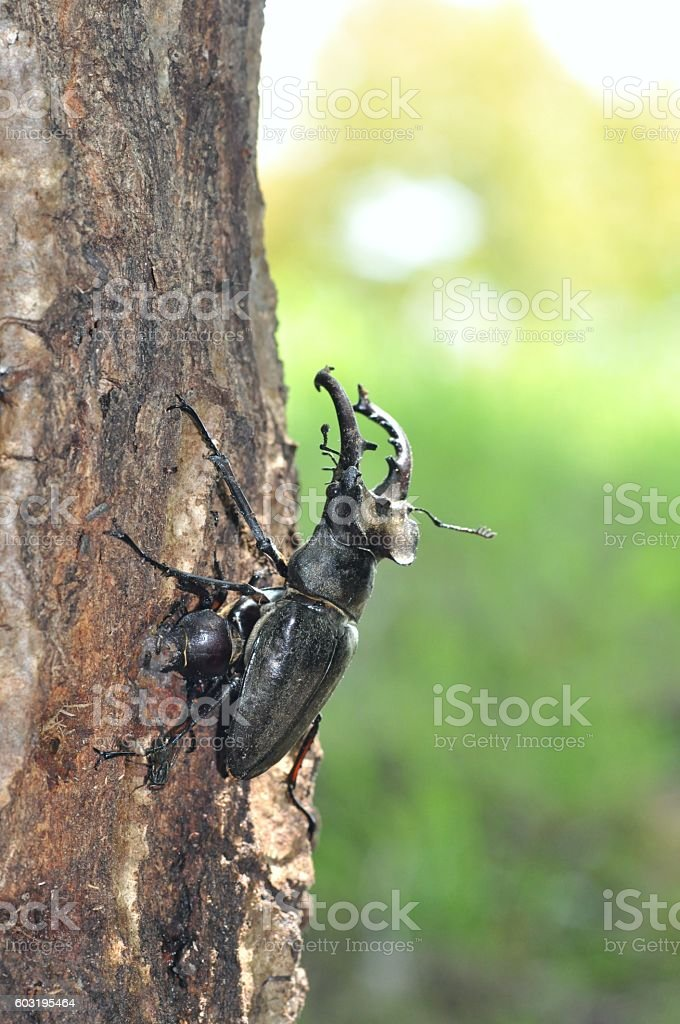 Lucanus maculifemoratus stock photo