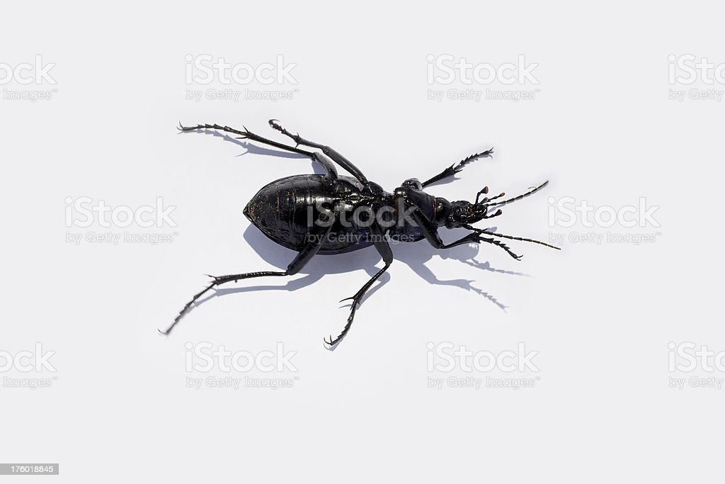 Lucanus Scapulodonta stock photo