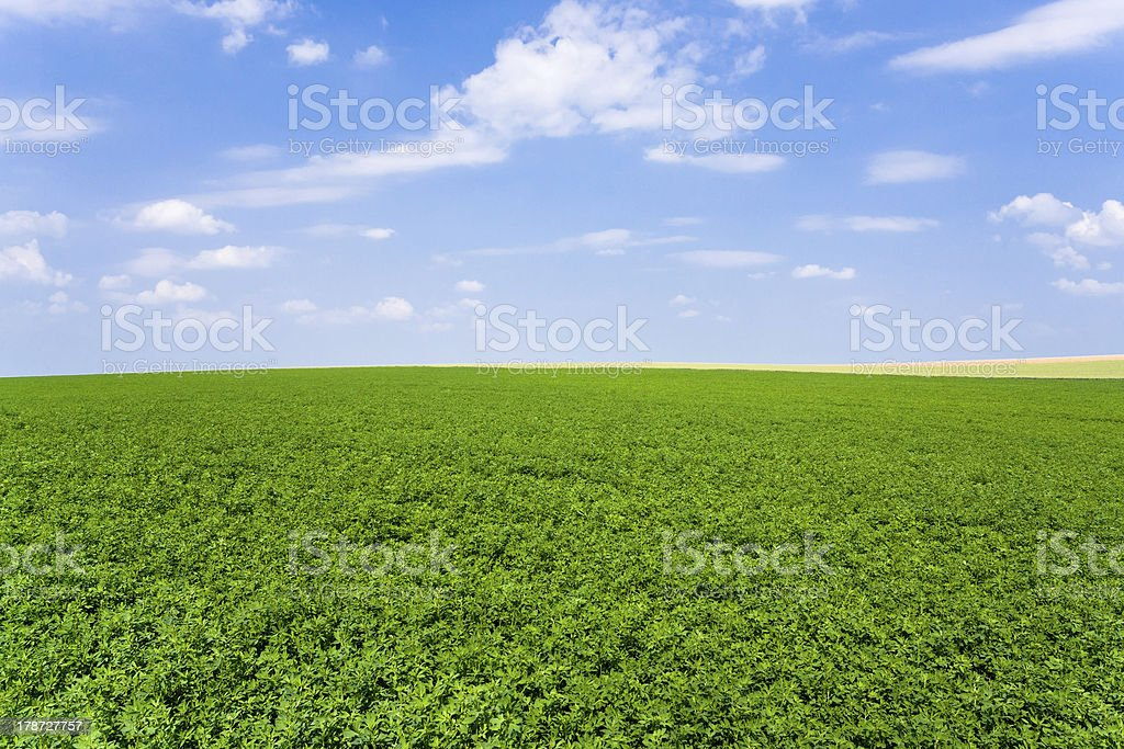 lucerne plantation under blue sky royalty-free stock photo