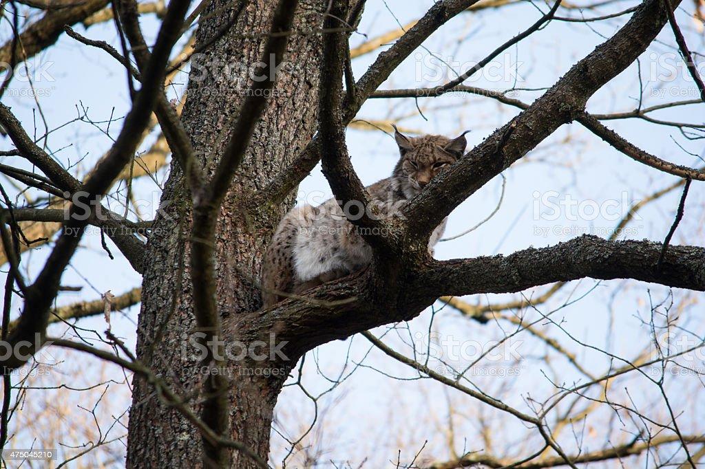 Luchs im Baum royalty-free stock photo