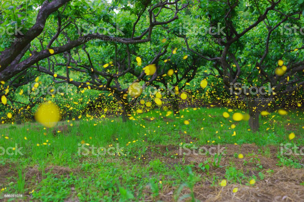 Luciola parvula flying in plum forest stock photo