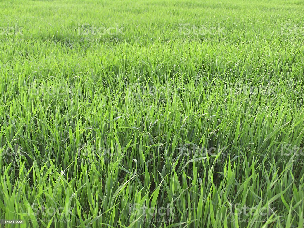 Lucious Green Field of Long Grass royalty-free stock photo