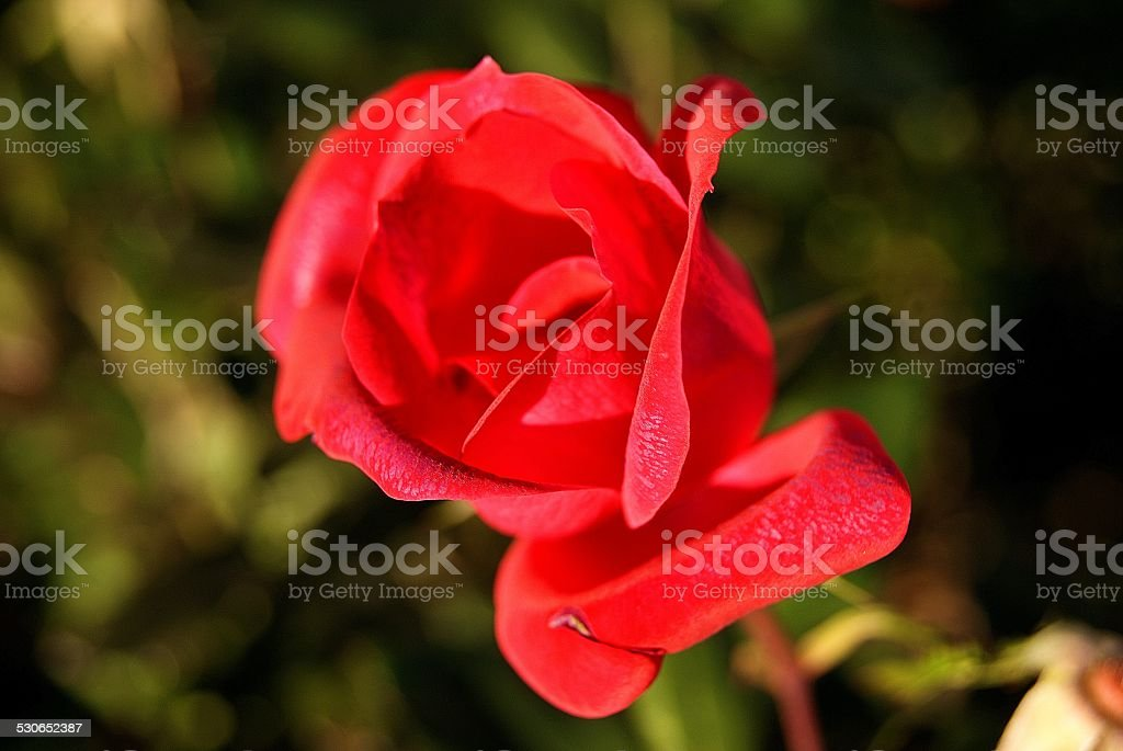 Lucious Rose royalty-free stock photo
