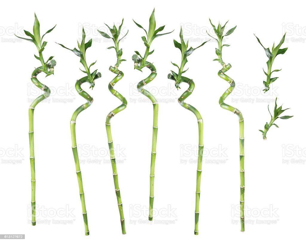 Lucky Bamboo on white background stock photo
