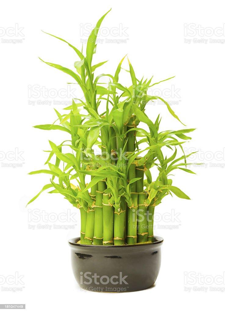 Lucky Bamboo royalty-free stock photo