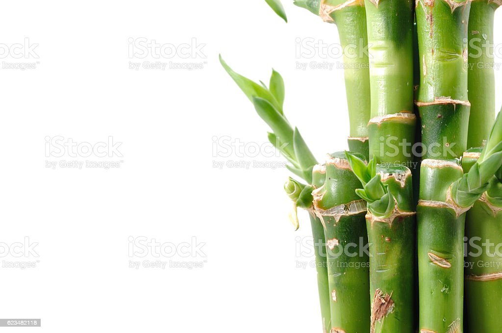 Lucky bamboo plant on a white background stock photo