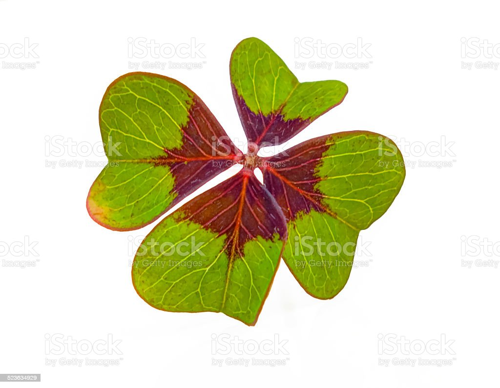 Lucky Charm Four Leaf Clover stock photo