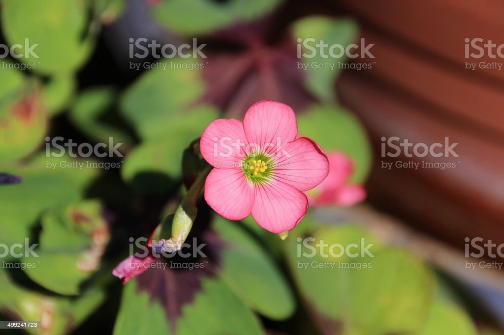 Lucky clover, Oxalis tetraphylla, Four-leafed royalty-free stock photo