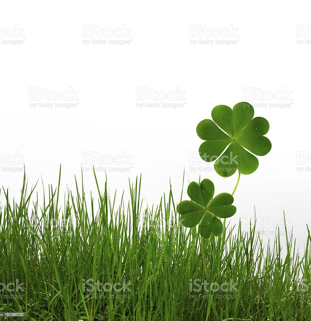 Lucky clovers and grass on white background stock photo