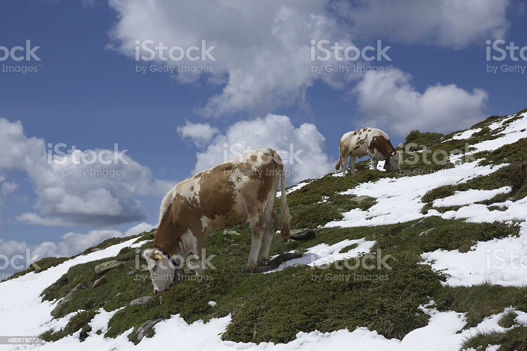 Lucky cows royalty-free stock photo