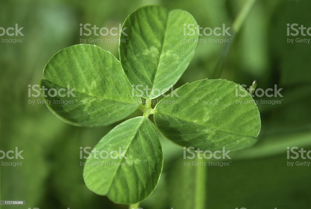 Lucky four leaf clover royalty-free stock photo