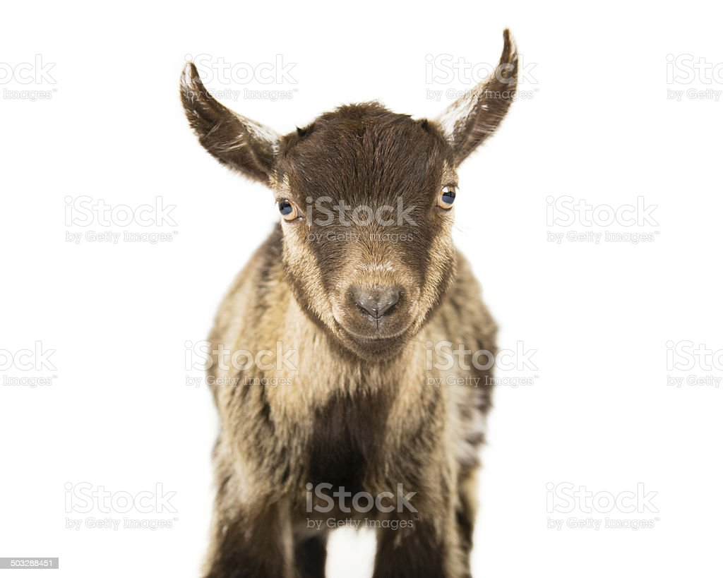 Lucky The Goat stock photo