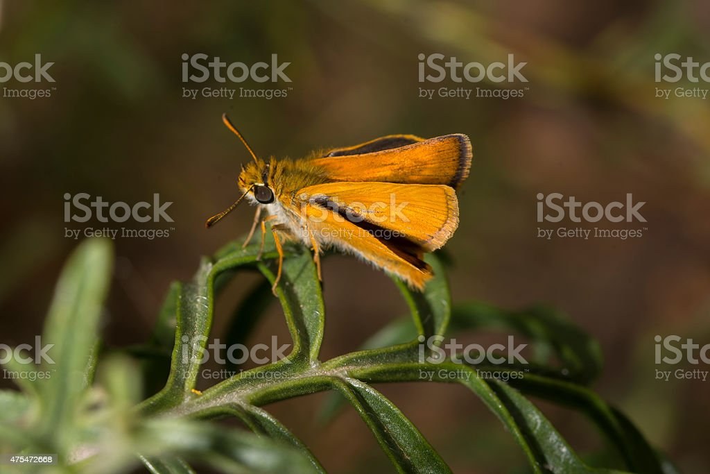 Lulworth Skipper, Thymelicus acteon, resting on leaf royalty-free stock photo