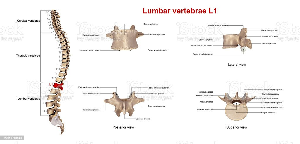 Lumbar vertebrae L1_With Lables stock photo