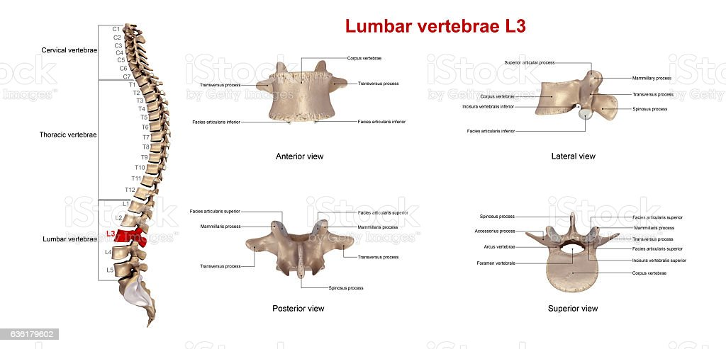 Lumbar vertebrae L3_With Lables stock photo