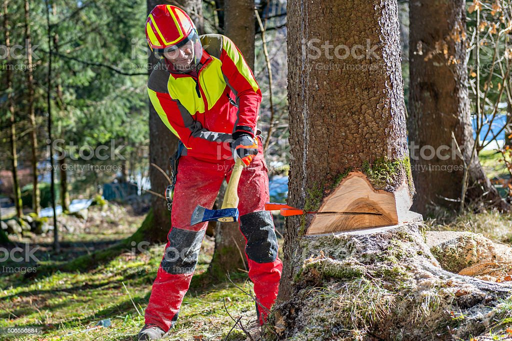 Lumberjack cutting tree in forest stock photo