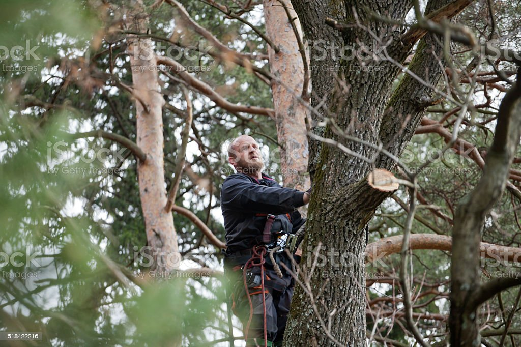 Lumberjack in the crown of a large tree stock photo
