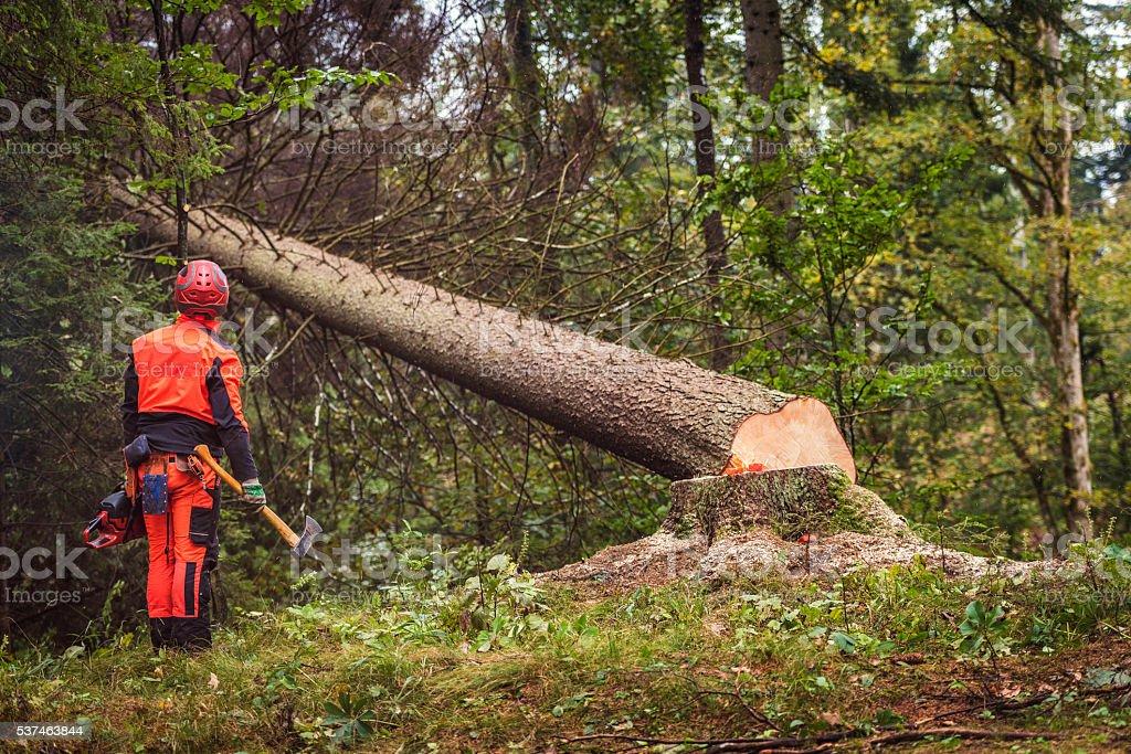 Lumberjack looking a fallen tree in the woods stock photo