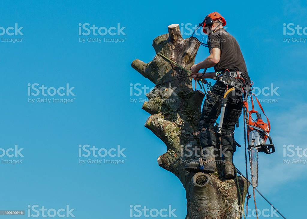 Lumberjack roped working at the top of a tree. stock photo