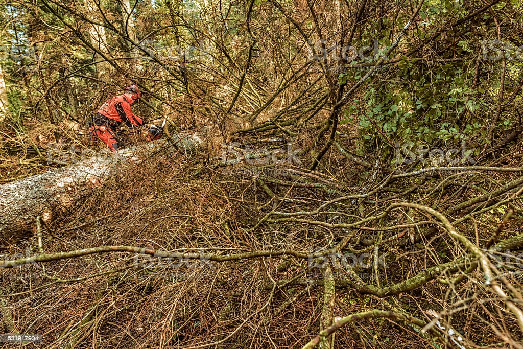 Lumberjack sawing a fallen tree in the woods stock photo