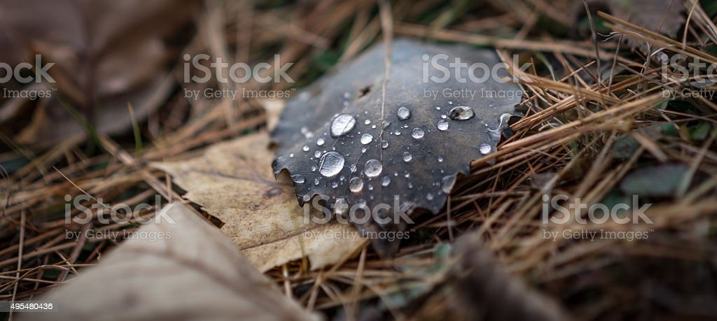 Luminescent drops of water on an autumn leaf. stock photo